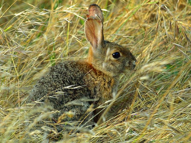 Cottontail Rabbit in Hiding Thumbnail