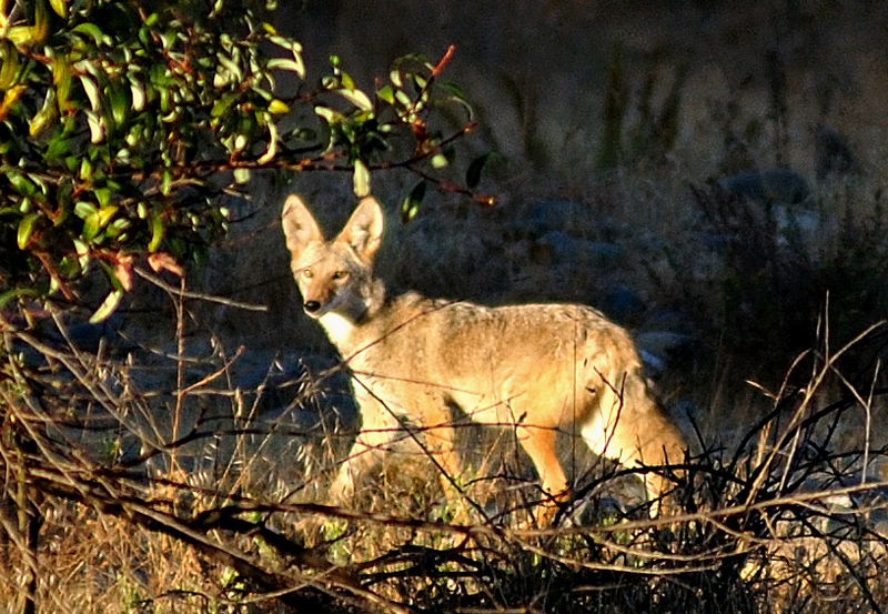 Coyote in the Wilderness Thumbnail