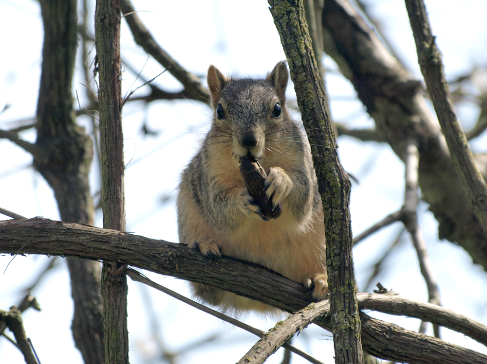 Fox Squirrel Thumbnail
