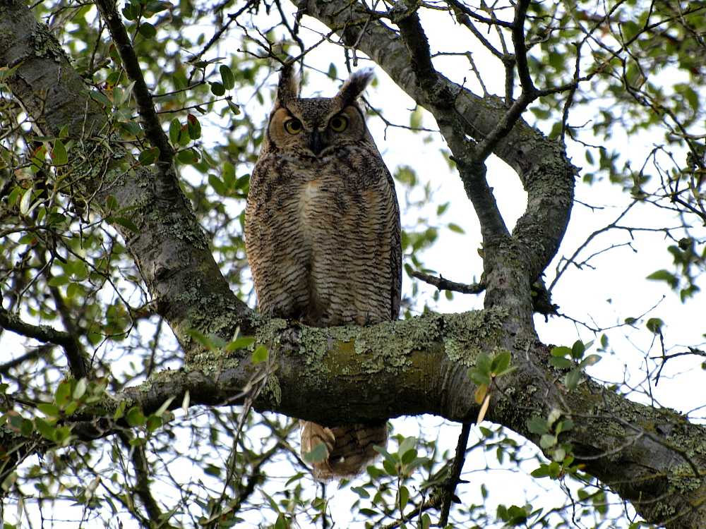 Great Horned Owl Thumbnail