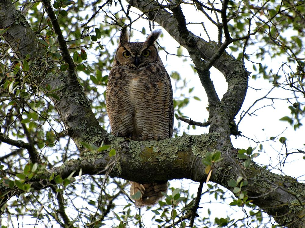Great Horned Owl Thumbnail