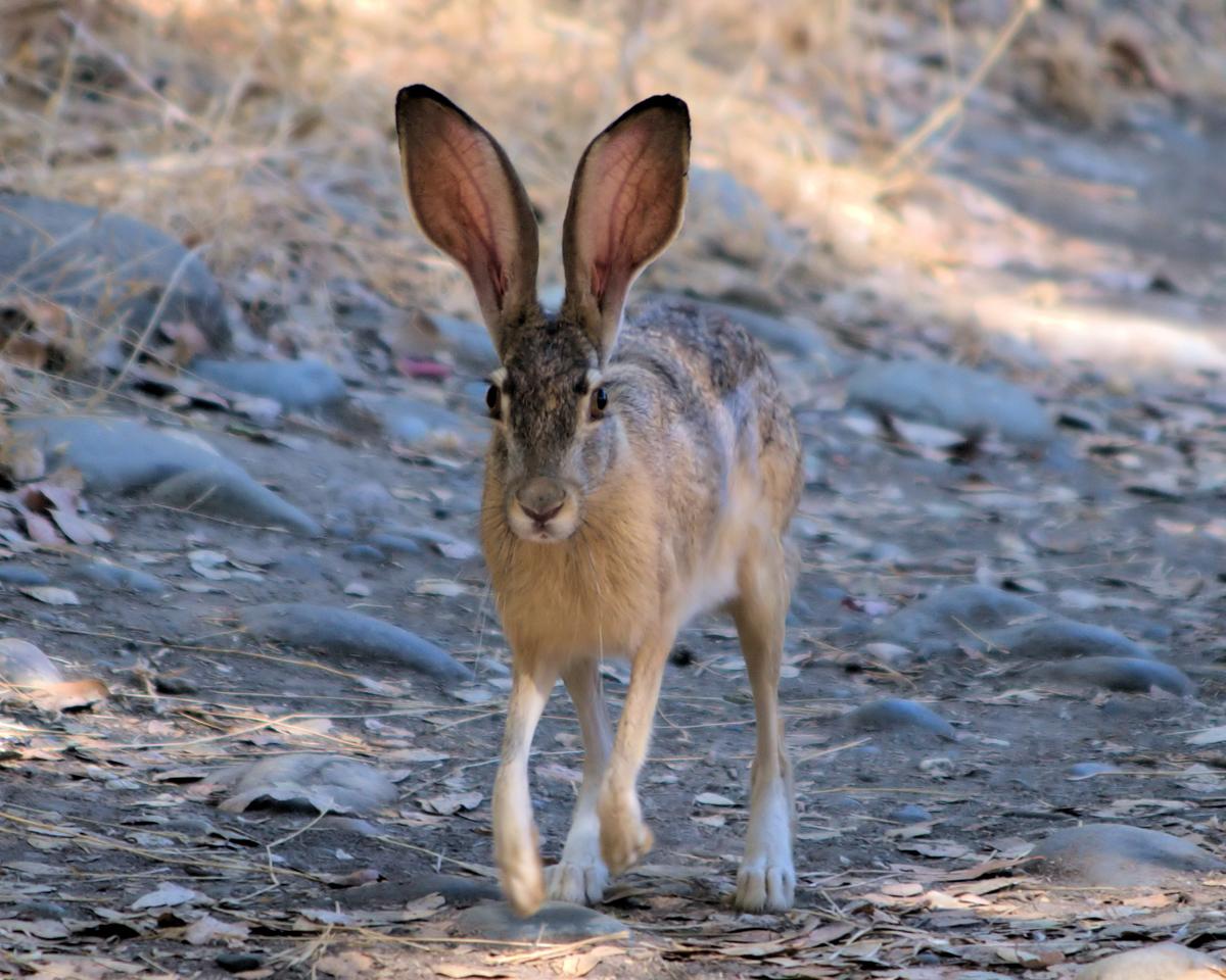 Jack Rabbit Thumbnail