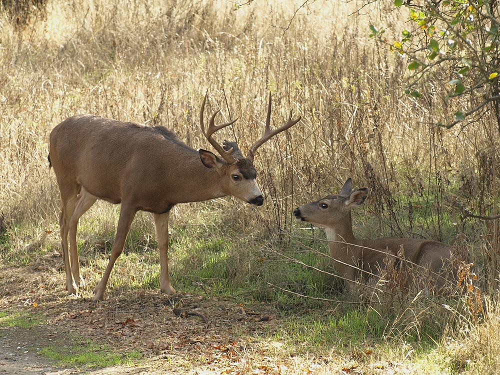 Male and Female Deer Thumbnail