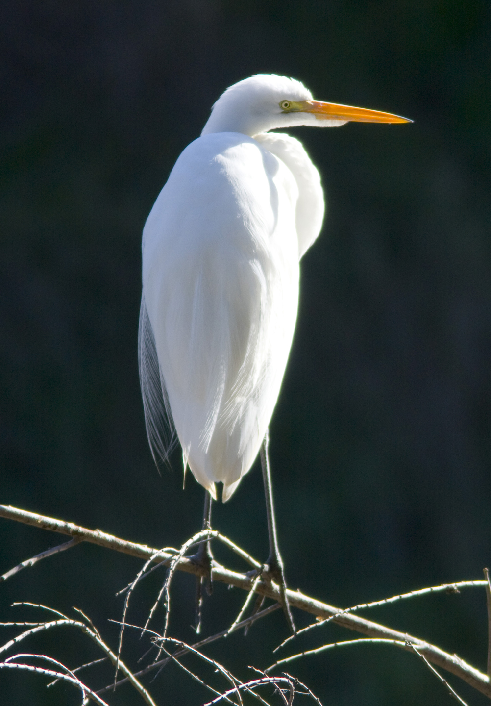 Great Egret Thumbnail