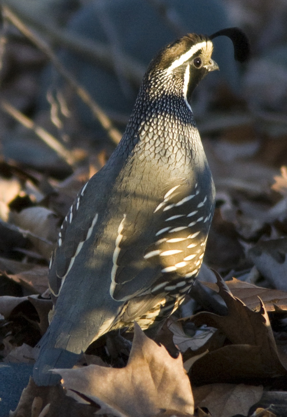 Quail Perching on the Ground Thumbnail