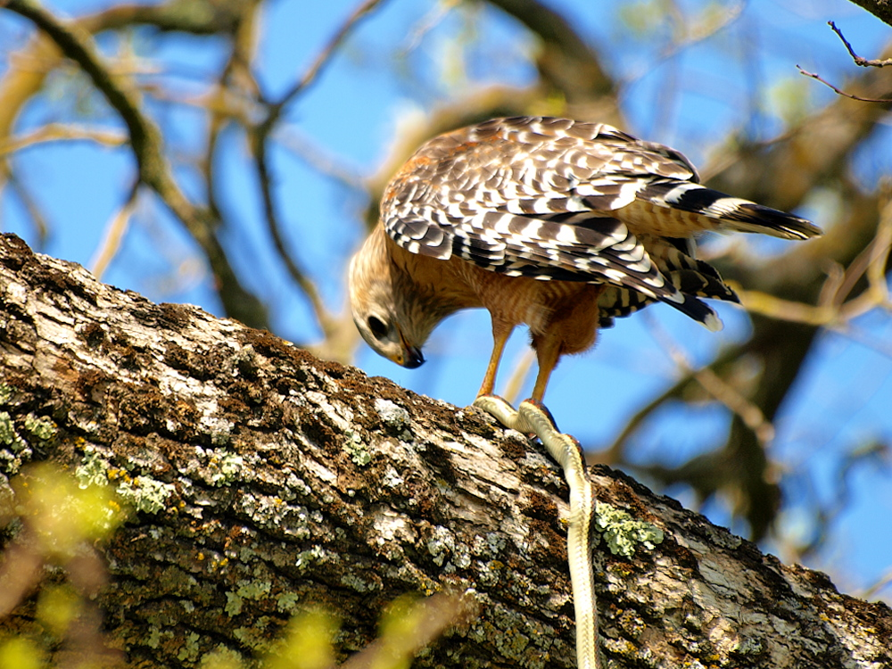 Red-Shouldered Hawk with Garter Snake Thumbnail