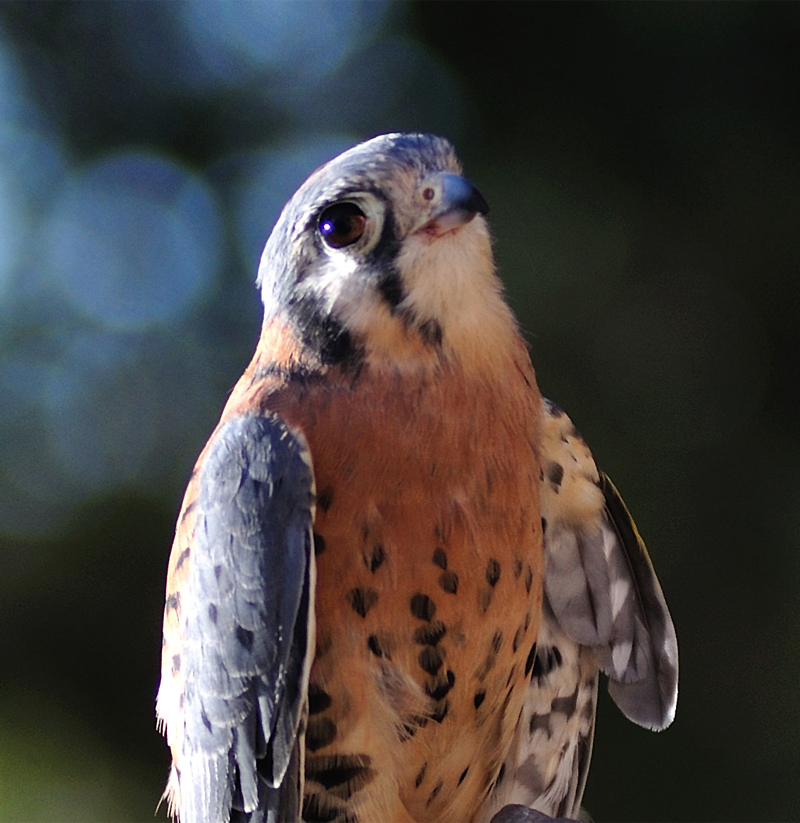 Unreleasable Kestrel, Rocky Thumbnail