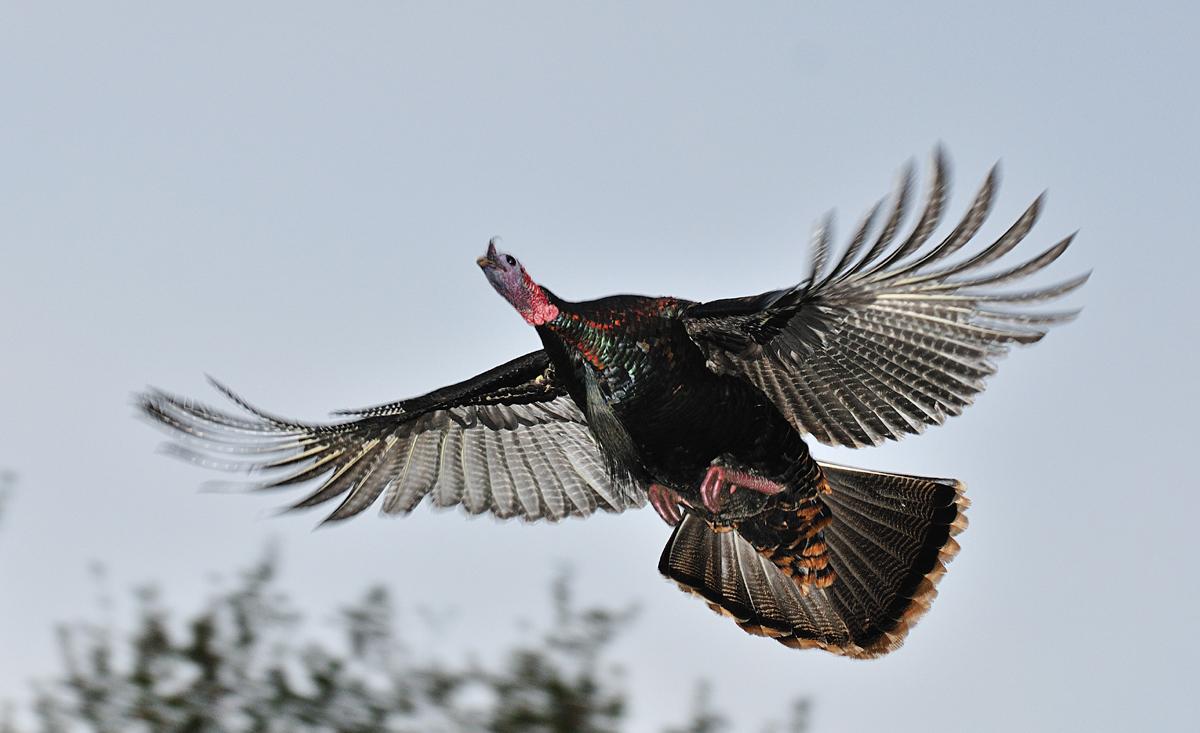 Turkey in Flight Thumbnail