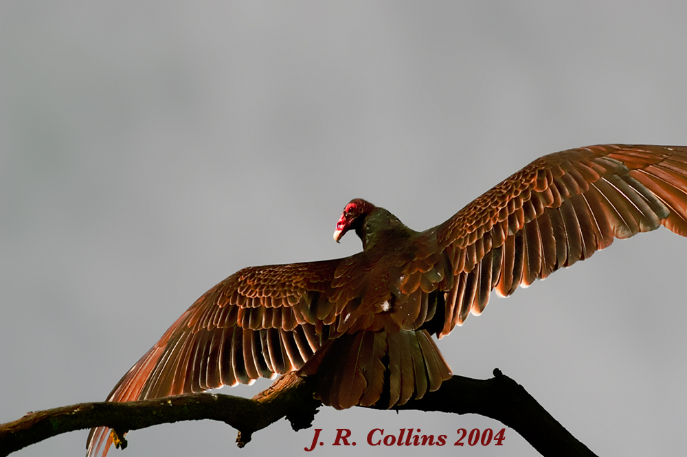 Turkey Vulture Thumbnail