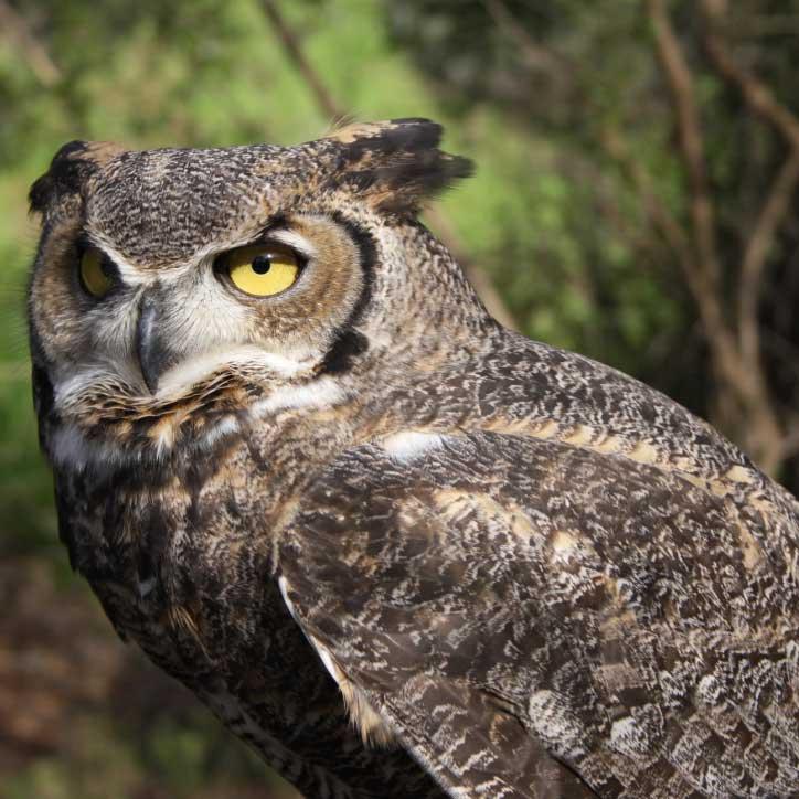 Resident Animal Owl