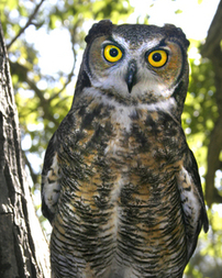 Echo, the Great Horned Owl