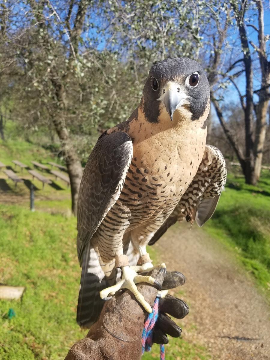 Wek'-Wek, Peregrine Falcon