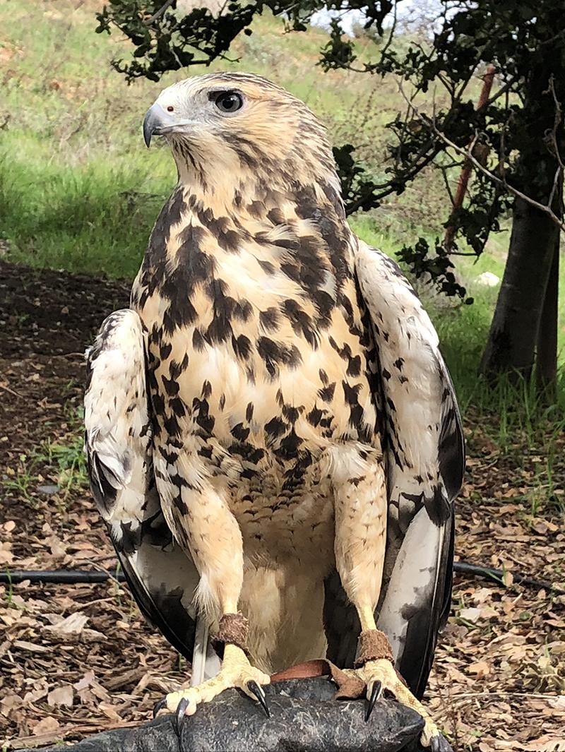 Orion, the Swainson's Hawk