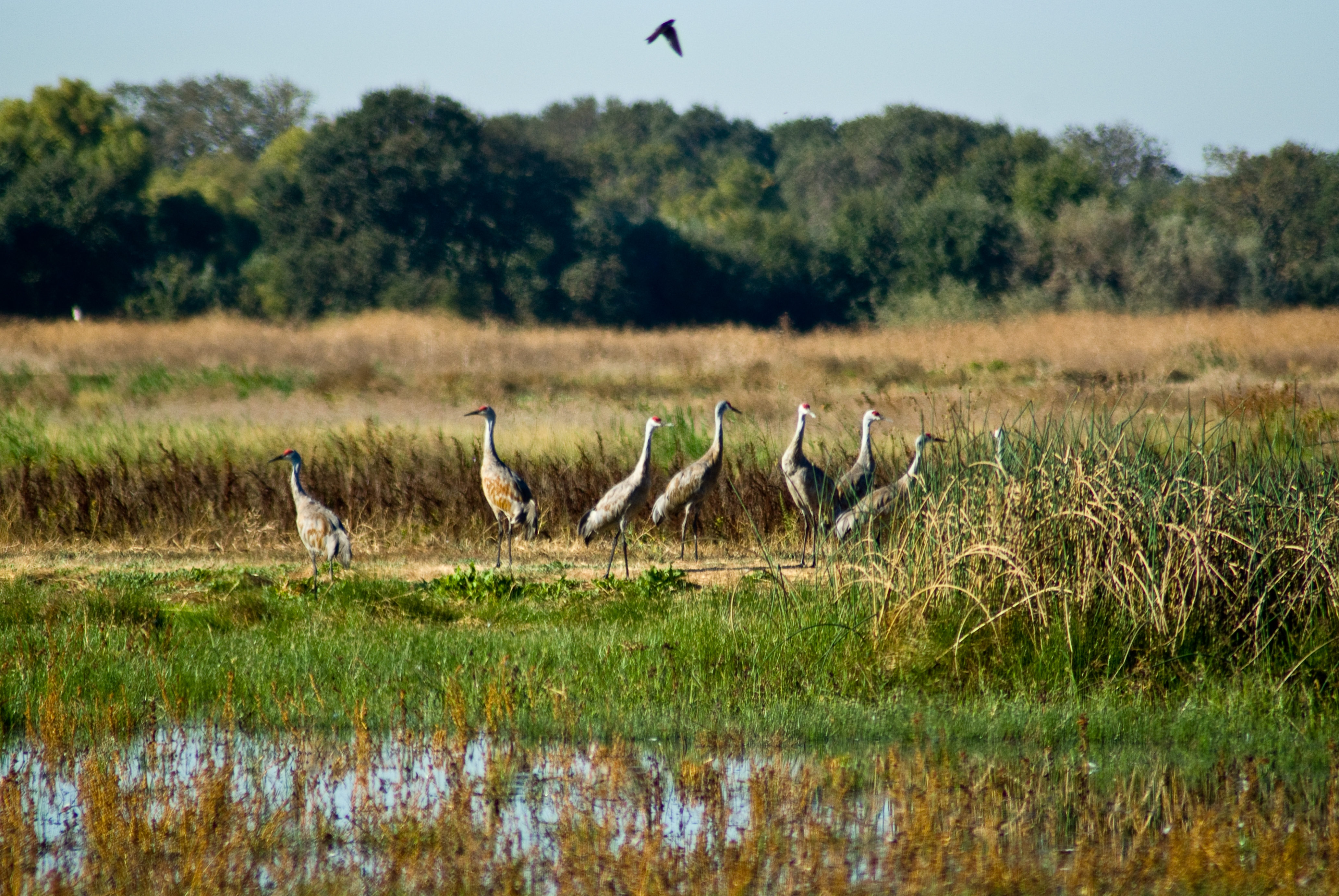 Seven sandhill cranes standing in a marsh at Stone Lakes National Wildlife Refuge