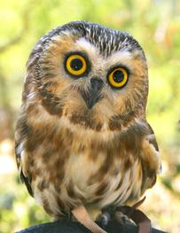 Sophia, the Northern Saw-whet Owl