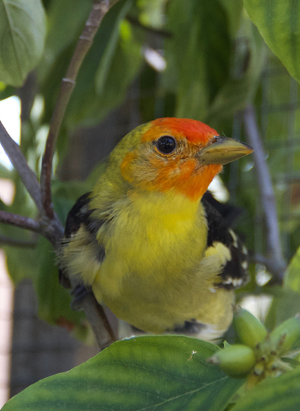Tango, the Western Tanager
