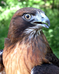 Tanner, the Red-tailed Hawk