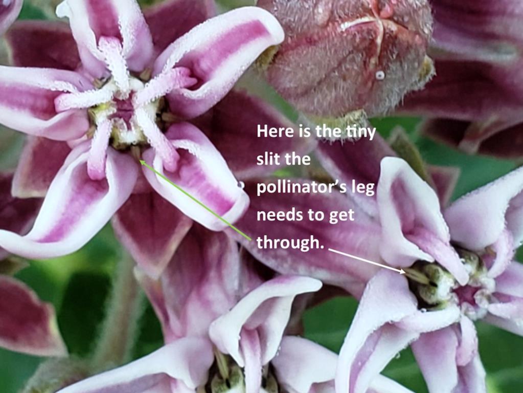 Stigmatic slit of milkweed