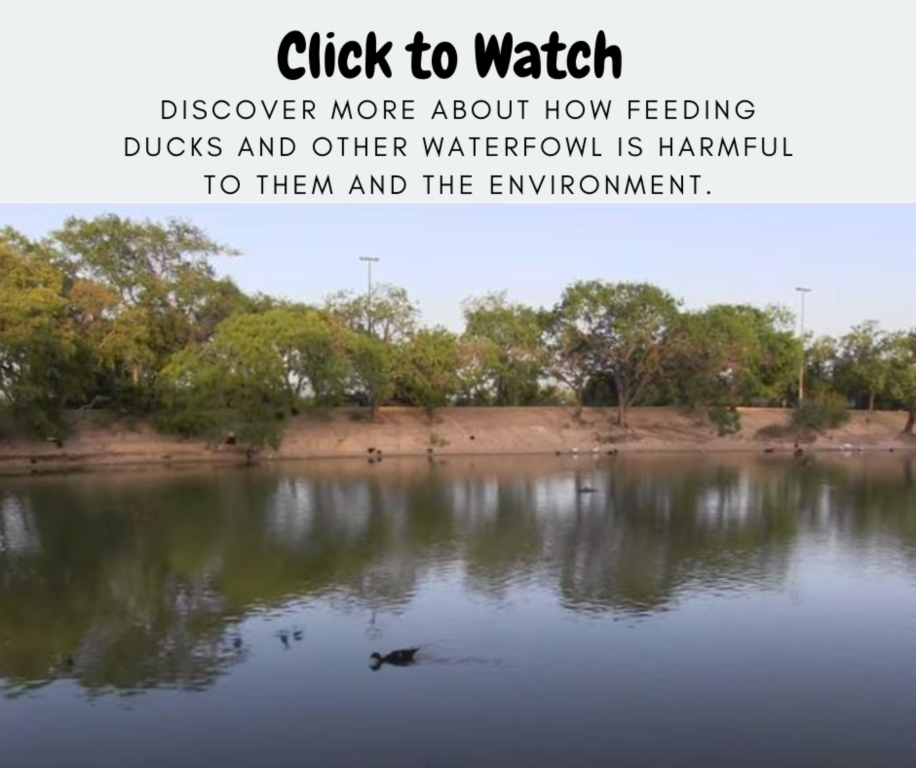Click to watch video - Ducks on on a pond