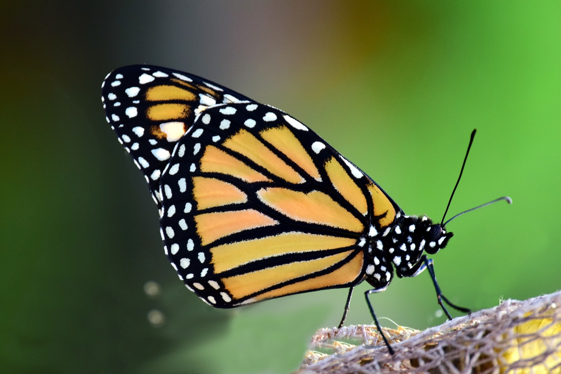 Monarch Butterflies and You!